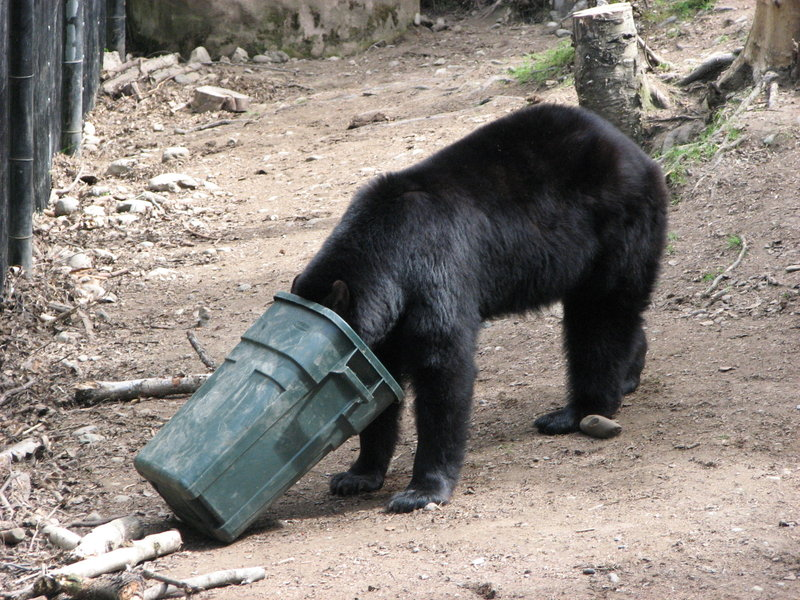 Black Bear and Trash Can